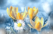 Beautiful Spring Flowers In The Dreamy Meadow Toned In Delicate Yellow And Blue Pastel Colors . Dreamy Romantic Artistic Image Of Spring