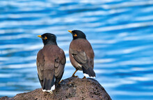 Mynah Bird Couple Sitting Next To Each Other Near A Small Pond.