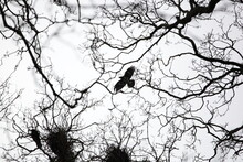 Flying Crow With Nest
