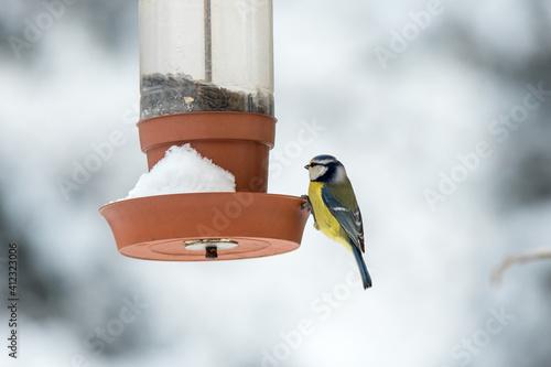 Fototapeta The Eurasian blue tit, Cyanistes caeruleus, is a small passerine bird in the tit family, Paridae