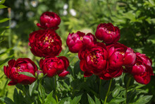Herbaceous Peonies 'Buckeye Belle' In Flower Garden