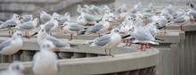 Ton Of Seagulls Assemble In Atami, Japan