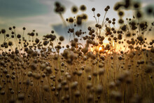 Detail Of Flax Seeds On Field During Sunset In Austria.