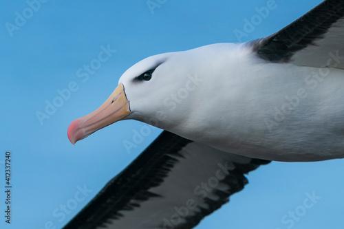 Obraz na plátne The black-browed albatross (Thalassarche melanophris)