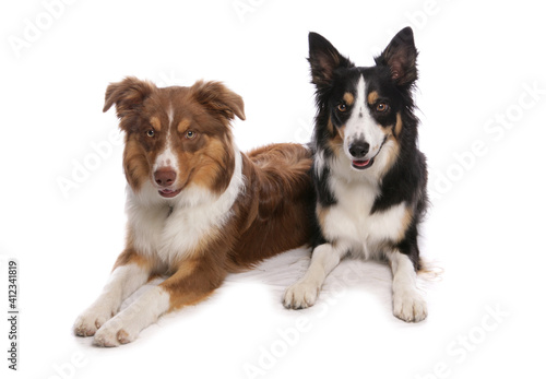 Foto two tri border collies