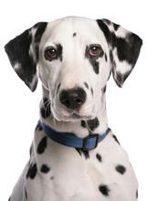 Dalmatain Dog Head Shot