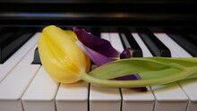 Yellow And Purple Tulips On The Piano