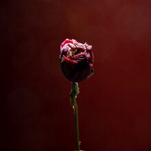 Dried Flower Peony Like A Rose Over Deep Red Background. Close Up