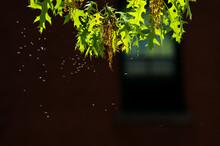 Swarm Of Backlit Gnats By An Oak Tree