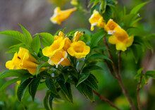 Closeup View Of Blooming Yellow Bunches Of Trumpet Vine Flowers