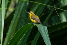 Female Olive-backed Sunbirds Perching On The Leaf.