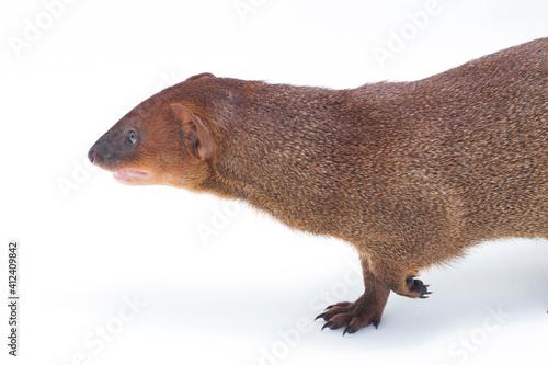 Fototapeta Close up of Javan Mongoose or Small asian mongoose (Herpestes javanicus) isolate