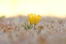 Yellow Crocus Flowers In Blooming