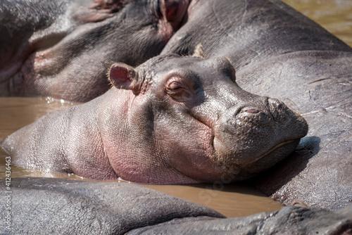 Obraz na plátně Hippopotamus In River