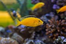 Labidochromis Caeruleus, Electric Yellow Cichlid Yellow Cichlid With Black Fin Fish