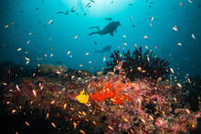 Underwater Photography, Scuba Divers Swimming Over A Lively Coral Reef Surrounded By Small Tropical Fish In Blue Ocean. Maldives, Asia, Indian Ocean