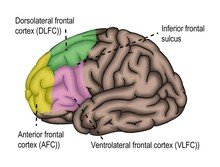 The Surface Of Human's Brain Shown Frontal Lobe And Its Relative Region.