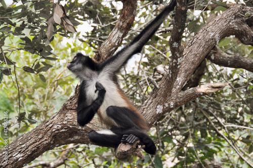 Atèle du Yucatan ou atèle à main noires (Ateles geoffroyi yucatanensis) Mexique Espèce menacée d'extinction © brimeux