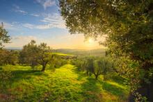 Maremma Countryside Panorama And Olive Trees. Casale Marittimo, Pisa, Tuscany Italy