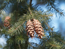 (Pseudotsuga Menziesii) Close Up On Woody Cones Of Douglas-fir Hanging Down With Pitchfork-shaped Bracts Under Branches With Green Needles