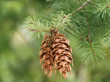 Close Up On Female Cones Of Douglas-fir Or Oregon Pine (Pseudotsuga Menziesii). Long Bract With Three-pointed That Protrudes Prominently Above Scales