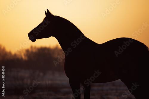 Fototapeta Holstein horse obraz