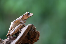 Borneo Eared Tree Frog On A Branch, Indonesia