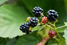 Black Raspberry (Rubus Occidentalis) - Wild Growing Berries Ripening Near The Forest, Closeup