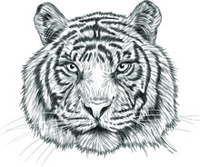 Tiger Head Black White Sketch Portrait Drawing Vector Illustration