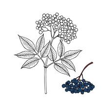 Elderberry (Sambucus Nigra). Fruits, Flowers And Leaves. Hand Drawn Vector Illustration In Sketch Style.