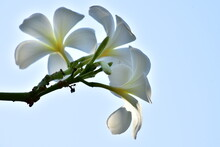 Low Angle View Of White Flowering Plant Against Clear Sky