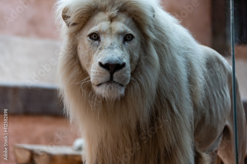 Fotografia, Obraz white lion in the zoo, the king of animals