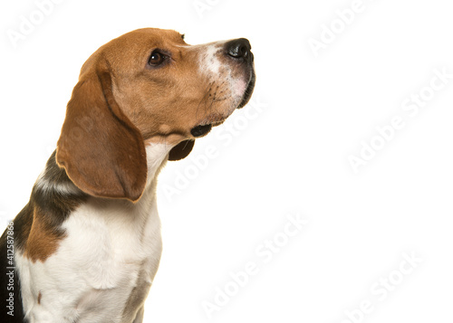 Fotografia Portrait Of Beagle Dog Looking Up Seen From The Side On A White Background