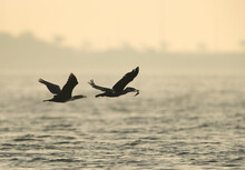 Great Cormorant With Fish Chased By Other At Tubli Bay, Bahrain