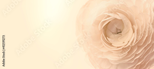 Beautiful ranunculus flower on color background, space for text Fototapeta
