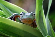Flying Frog Sitting On Green Leaves, Indonesia