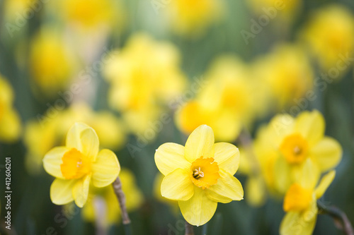 Fotografia A yellow daffodil in focus in the foreground and several ore blurred behind it
