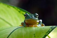 Javan Tree Frog On A Leaf, Indonesia