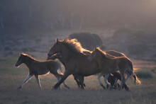 A Herd Of Wild Horses Running Across Alpine Pasture, Australia