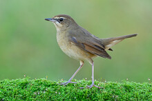 Lovely Brown Brid Walking On Fresh Green Moss Grass With Water Drops, Female Siberian Rubythroat