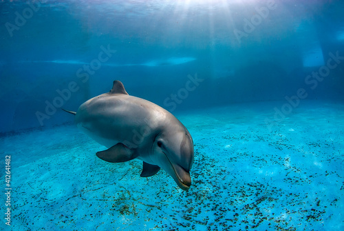 Fotografering Underwater image of a bottlenose dolphin (turnips truncatus) swimming in a pool
