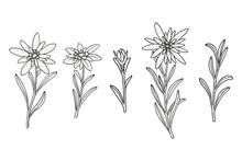 Edelweiss Flowers Set. Mountain Adventure Plant. Hand Drawn Vector Illustration Isolated On White Background.