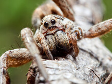 A Wolf Spider In Its Natural Environment On The Grass.