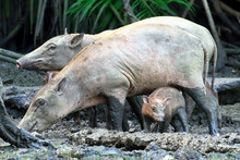 Babiroussa Des Célèbes Femelles Et Un Petit Dans La Boue (Babyrousa Celebensis). Espèce Vulnérable. Parc National De Tangkoko, Ile De Sulawesi, Indonésie