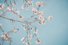 Hello, Spring. Abstract Dreamy Image Of Spring. Blurred White Cherry Blossoms Tree On Blue Sky Background. Selective Focus. Vintage Trendy Toned.