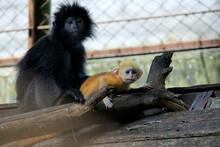 Javan Lutung Trachypithecus Auratus Is A Javanese And Bali Endemic Primate