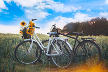 Vintage Framed Womens Bicycle With Sunflowers In Basket And Mens Black Bike Are Standing In The Field. Romance Date Or Love Story Concept