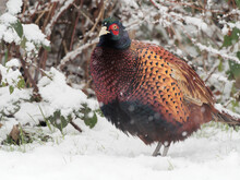 A Male Pheasant (Phasianus Colchicus) Looking For Food In The Snow.