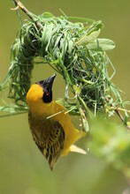 Southern Male Masked Weaver Constructing Its Nest.