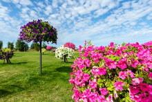 Scenic View Of Beautiful City Park With Green Grass Lawn Mwadow And Many Bright Blooming Petunia Flowers In Pots And Hanged On Pole. Landscaping Design And Ornamental Garden. Seasonal Plants Blossom